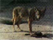 An unsuspecting coyote approaches a lithium-tainted bait,
